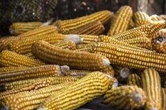 Dojrzała kukurudza - jesieni żniwo zdjęcia royalty free