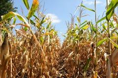 Dojrzała kukurydzana roślina z kaczanem Zdjęcia Royalty Free