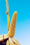 Dojrzała kukurydzy kukurudza na cob Zdjęcie Stock