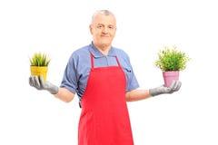 Dojrzała męska ogrodniczka trzyma dwa puszkującej rośliny z fartuchem Obraz Stock