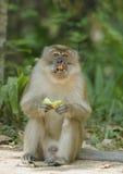 Dojrzała makak małpy łasowania owoc. zdjęcie stock
