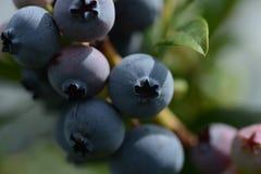 Dojrzała organicznie czarna jagoda gotowa podnoszącym w górę obraz stock