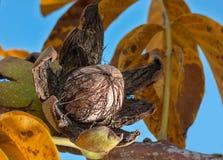 Dojrzała orzech włoski dokrętka na drzewie Fotografia Stock