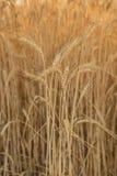 dojrzała pszenica uszy Obraz Stock