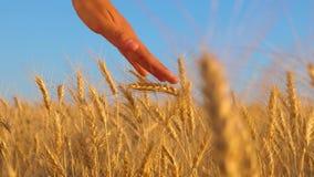 Dojrzała pszeniczna uprawa w polu dziewczyna w biel sukni iść pole dojrzała banatka, ręki dziewczyna dotyka dojrzałych ucho zdjęcie wideo
