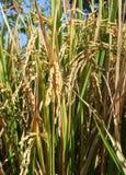 Dojrzała ryżowa uprawa przygotowywająca dla żniwa Fotografia Stock