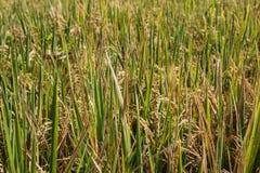 Dojrzała ryżowa uprawa przygotowywająca dla żniwa Zdjęcie Stock