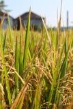 Dojrzała ryżowa uprawa przygotowywająca dla żniwa Obraz Royalty Free