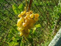 Dojrzała wiązka winogrona bursztyn przy ogrodzeniem Fotografia Royalty Free