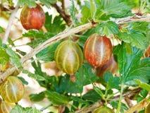 Dojrzałe agrestowe jagody zamknięte up na zielonym krzaku Fotografia Royalty Free