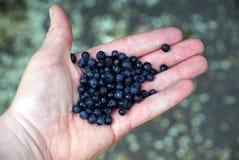 Dojrzałe błękitne czarne jagody na otwartej palmie Zdjęcie Royalty Free