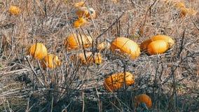 Dojrzałe banie na polu w jesieni zdjęcie wideo