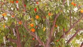 Dojrzałe cytrus owoc, pomarańcze, cytryny, tangerines zakrywający w białym śniegu ?nieg kontynuuje spada? Sroga zima w Włochy zdjęcie wideo