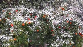 Dojrzałe cytrus owoc, pomarańcze, cytryny, tangerines zakrywający w białym śniegu ?nieg kontynuuje spada? Sroga zima w Włochy zbiory wideo