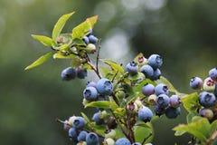 Dojrzałe czarne jagody na gałąź Fotografia Royalty Free