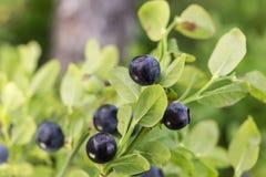 Dojrzałe czarne jagody na krzaku obrazy stock