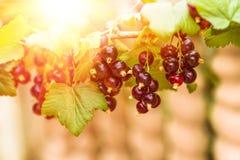 Dojrzałe czarnego rodzynku jagody na gałąź Zdjęcie Royalty Free