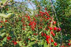 Dojrzałe czerwone wiśnie na drzewie Zdjęcie Royalty Free