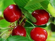Dojrzałe czerwone wiśnie na gałąź z zielonymi liśćmi obraz stock