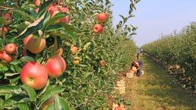 dojrzałe jabłko Zdjęcia Stock