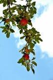 dojrzałe jabłko obrazy stock