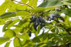 Dojrzałe jagody jadalny banksji Lonicera na gałąź na tle zieleni liście z bliska zdjęcie stock