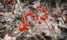 Dojrzałe jagody mogą leluja dolina w jesieni fotografia royalty free