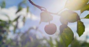 Dojrzałe jagody słodka wiśnia z bliska zbiory wideo