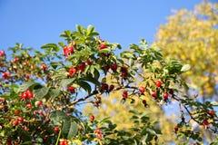 Dojrzałe jagody wrzosiec na gałąź dziki różany Bush Zdjęcie Stock