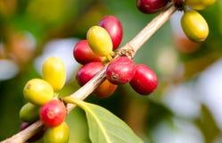 Dojrzałe Kawowe wiśnie, Koniec Obraz Stock