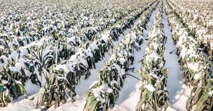 Dojrzałe leek rośliny w śniegu Fotografia Royalty Free
