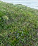 Dojrzałe moroszki i błękitów kwiaty na wyspie Mageroya, Nie Obrazy Royalty Free