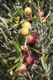 Dojrzałe oliwki na gałąź drzewo oliwne Fotografia Stock