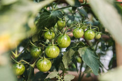 Dojrzałe organicznie pomidor rośliny r na gałąź Obraz Stock