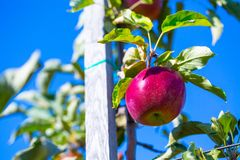 Dojrzałe owoc czerwoni jabłka na gałąź młode jabłonie fotografia stock