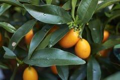 Dojrzałe owoc Kumquats zdjęcia stock