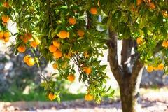 Dojrzałe pomarańcze na drzewie Fotografia Royalty Free