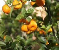 Dojrzałe pomarańczowe mandarynki na drzewie z dużo opuszczają Zdjęcia Royalty Free
