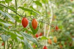 dojrzałe pomidory świeże Obrazy Royalty Free