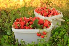 Dojrzałe słodkie truskawki w plastikowym koszu na a Fotografia Royalty Free