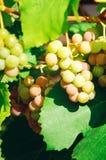 Dojrzałe słodkie wiązki winogrona, zakończenie zdjęcie royalty free