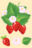 Dojrzałe soczyste czerwone truskawki z liśćmi i kwiatami wektor Zdjęcia Stock