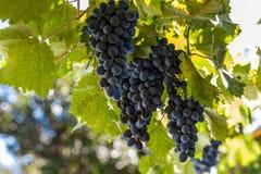 Dojrzałe wiązki ciemni winogrona zdjęcia stock