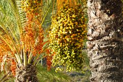 Dojrzałe wiązki daty na daktylowym drzewku palmowym w zieleni, kolorze żółtym, pomarańcze i czerwonym colour, Machico, madera, Po fotografia royalty free