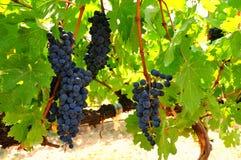 Dojrzali winogrady Fotografia Stock
