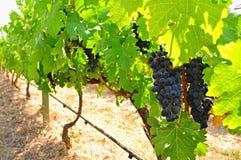 Dojrzali winogrady obrazy royalty free