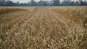 Dojrzały śródpolnej kukurudzy szastać zbiory