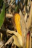 Dojrzały żółty organicznie kukurydzany ucho przygotowywający zbierać Zdjęcia Stock