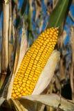 Dojrzały żółty organicznie kukurydzany ucho przygotowywający zbierać Obraz Royalty Free