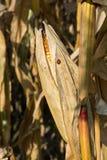 Dojrzały żółty organicznie kukurydzany ucho przygotowywający zbierać Obraz Stock